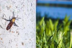 Asian giant hornet Royalty Free Stock Photo