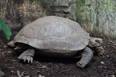 Asian giant tortoise Manouria emys. Emys, also known as the Southern brown tortoise stock photos