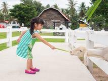 Asian girl Feeding a Sheep Stock Image