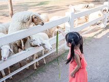 Asian girl Feeding a Sheep Stock Images