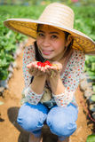 Asian girl harvesting strawberry in strawberry farm Royalty Free Stock Photos