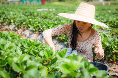Asian girl harvesting strawberry in strawberry farm Stock Photography