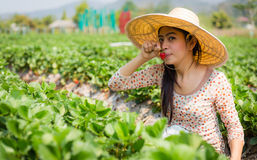 Asian girl harvesting strawberry in strawberry farm Stock Images
