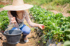 Asian girl harvesting strawberry in strawberry farm Stock Image
