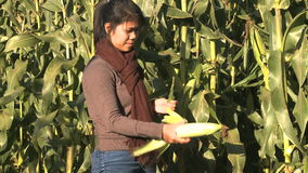 Asian woman picking ripe corn during Autumn stock footage