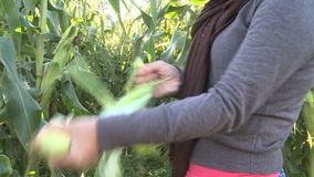 Asian woman picking ripe corn during Autumn stock video