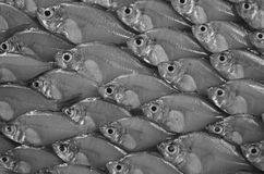 Asian glassfish pattern. Black and white image of Asian glassfish pattern Stock Photography