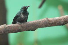 Asian glossy starling Stock Photography