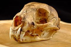 Asian goldden cat  or Temminck's cat skull and canine o Stock Images