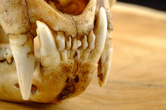 Asian goldden cat  or Temminck's cat skull and canine Royalty Free Stock Photography