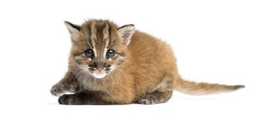 Asian golden cat lying, looking at the camera, Pardofelis temminckii. 4 weeks old stock image