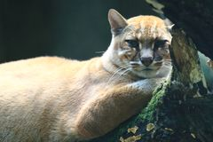 Asian golden cat. Lying on the wood Stock Photography
