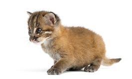 Asian golden cat sitting, Pardofelis temminckii, 4 weeks old royalty free stock image