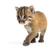 Asian golden cat walking, Pardofelis temminckii, 4 weeks old Royalty Free Stock Image