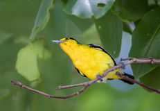 Asian Golden Oriole On Branch Of Big Tree In The Ayutthaya Historical Park. Asian Golden Oriole On Branch Of Big Tree In The Ayutthaya Historical Park, Thailand Stock Photo