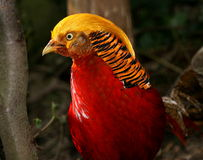 Asian Golden Pheasant Stock Image