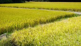 Asian golden rice paddy,wait for the harvest. stock video