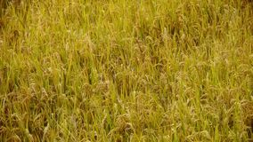 Asian golden rice paddy,wait for the harvest. stock video footage