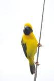 Asian Golden Weaver. Bird isolated on white Stock Images
