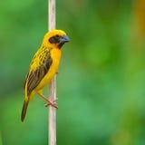Asian Golden Weaver Stock Images