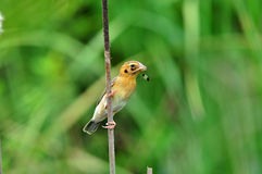 Asian Golden Weaver (bird). Asian Golden Weaver bird of thailand background Royalty Free Stock Photos