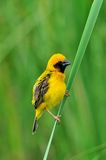 Asian Golden Weaver (bird). Asian Golden Weaver bird of thailand background Stock Photography