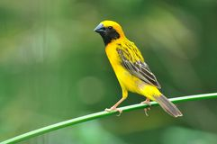 Asian Golden Weaver bird Stock Photography