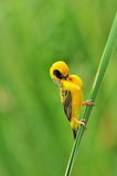 Asian Golden Weaver (bird). Asian Golden Weaver bird of thailand background Stock Images