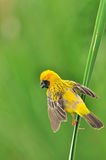 Asian Golden Weaver (bird). Asian Golden Weaver bird of thailand background Royalty Free Stock Photography