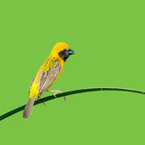 Asian Golden Weaver bird Royalty Free Stock Photography
