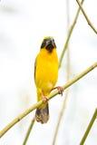 Asian Golden Weaver on breeding,Male Stock Photos