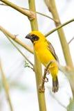 Asian Golden Weaver on breeding,Male Stock Images
