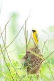 Asian Golden Weaver on breeding,Male Royalty Free Stock Images