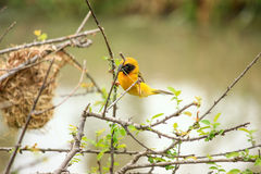 Asian golden weaver building nest. Beautiful Asian golden weaver building nest, Thailand Royalty Free Stock Photo