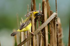 Asian Golden Weaver Island feeds on the nest. The Asian weavers in the grass are fed into the nest on a bright day Royalty Free Stock Photo