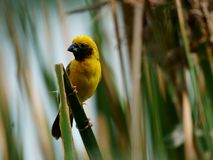 Asian Golden Weaver Island feeds on the nest. The Asian weavers in the grass are fed into the nest on a bright day Stock Photography