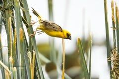 Asian Golden Weaver Island on the grass. Bird Asian Golden Weaver Island on the grass.In the natural lagoon. On a sunny day Stock Photos