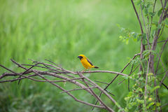 The Asian Golden Weaver (Ploceus hypoxanthus) is a species of bi Royalty Free Stock Photos