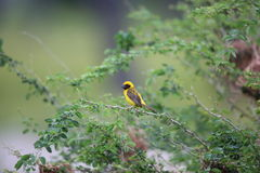 Asian Golden Weaver Stock Photo