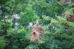 Asian Golden Weaver Royalty Free Stock Images