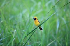 Asian Golden Weaver Stock Photography