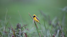 Asian golden weaver stock footage