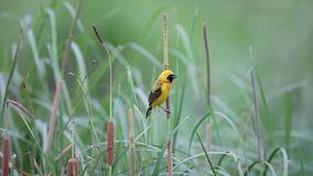 Asian golden weaver stock video footage