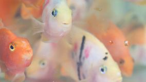 Asian goldfish Koi. Stock footage stock footage