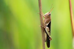 Asian Grasshopper in natural sunlight. Holding onto reed Royalty Free Stock Photography