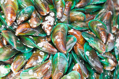 Asian Green mussel Stock Images