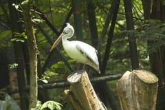 Asian grey pelicans - 2 Royalty Free Stock Photos