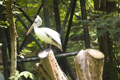 Asian grey pelicans Royalty Free Stock Photo