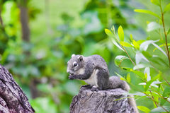 Asian grey squirrel eating a nut on the top of tree trunk in the Royalty Free Stock Images