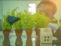 Asian guy look to the Siamese fighting fish behind the fish tank royalty free stock photo